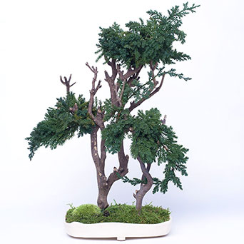 Bonsai tree for indoors
