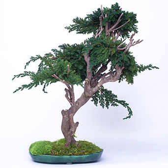 Bonsai tree for interior