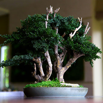 Bonsai tree with greenery