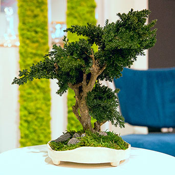 Bonsai tree with moss in a pot