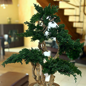 Bonsai trees - GAJA DECOR GROUP