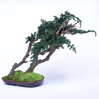 Mini bonsai for the interior