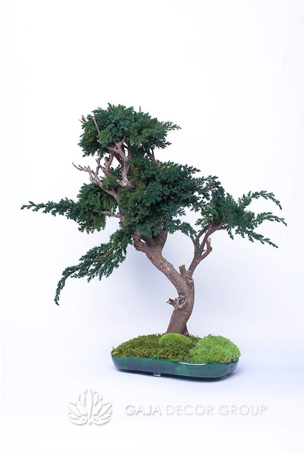 Unique bonsai trees with moss in a pot
